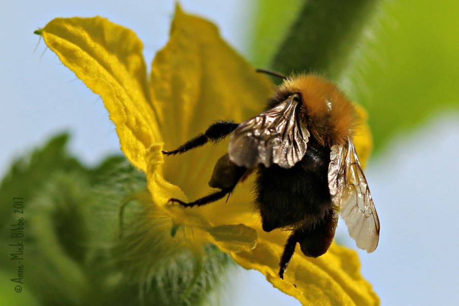 Bumble bee on cucumber flower - How to make your vegetable garden bee friendly.