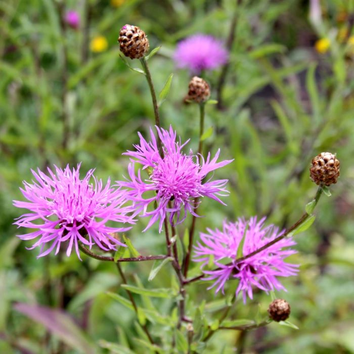 Wild flowers for bees: common knapweed.