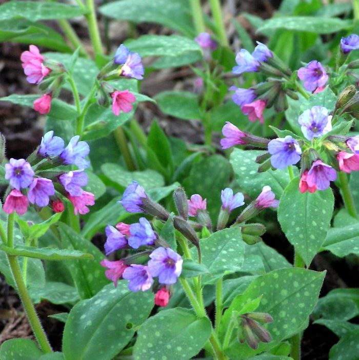 Wild flowers for bees: lungwort.