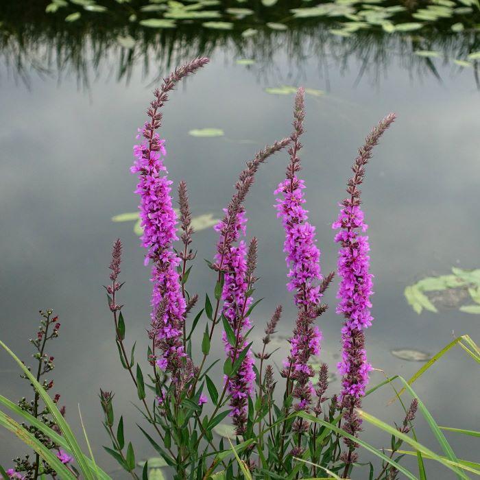 Purple loosestrife.