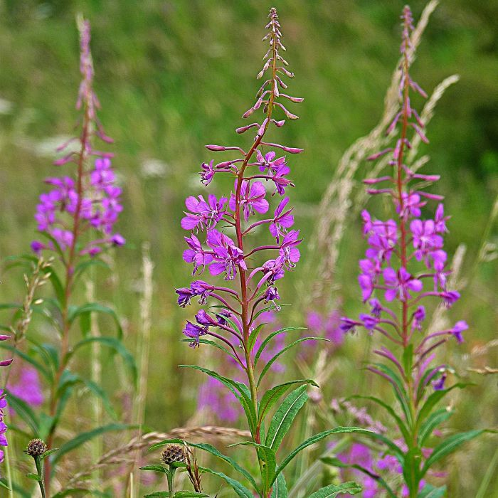 Wild flowers for bees: rosebay willowherb.