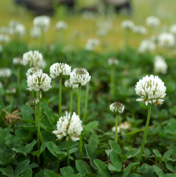 Wild flowers for bees: white clover.