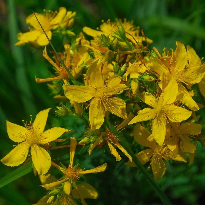 Medicinal Wild Flowers: St John's wort.