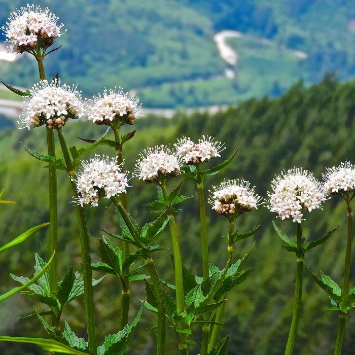 Medicinal Wild Flowers: valerian.