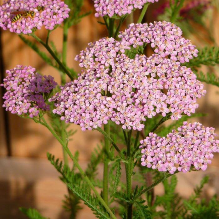 Medicinal Wild Flowers: yarrow.